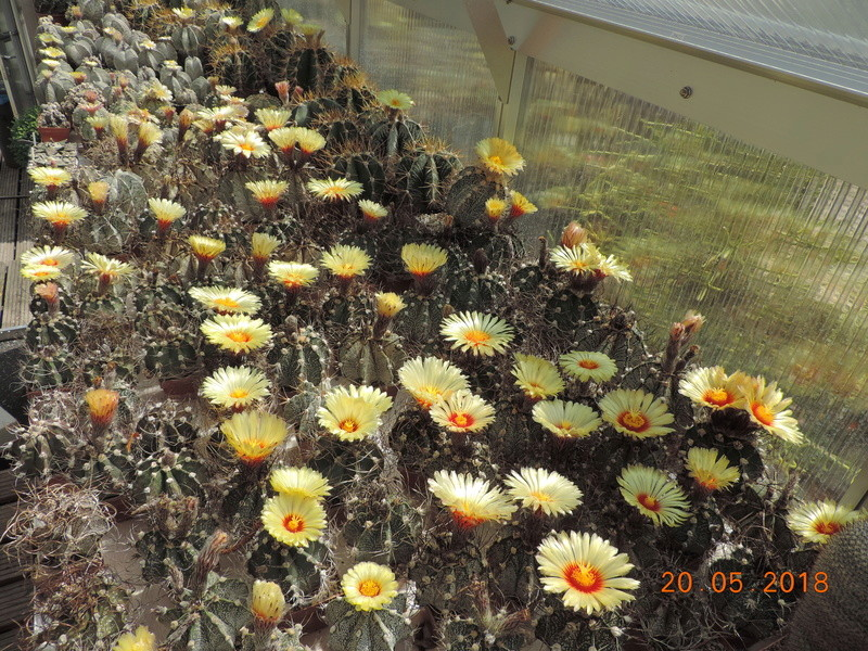 Cacti and Sukkulent in Köln, every day new flowers in the greenhouse Part 194 Bild2397