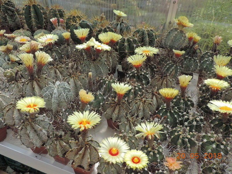 Cacti and Sukkulent in Köln, every day new flowers in the greenhouse Part 194 Bild2399