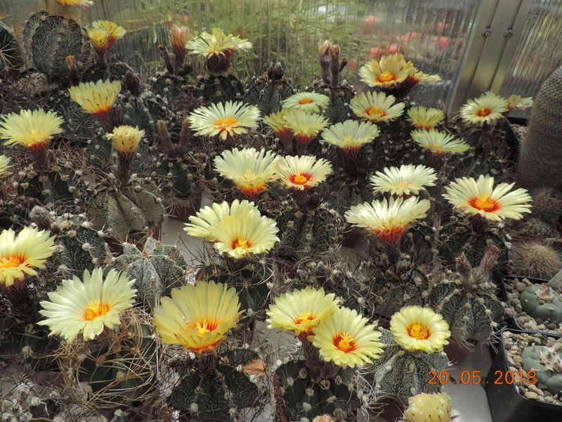 Cacti and Sukkulent in Köln, every day new flowers in the greenhouse Part 194 Bild2400