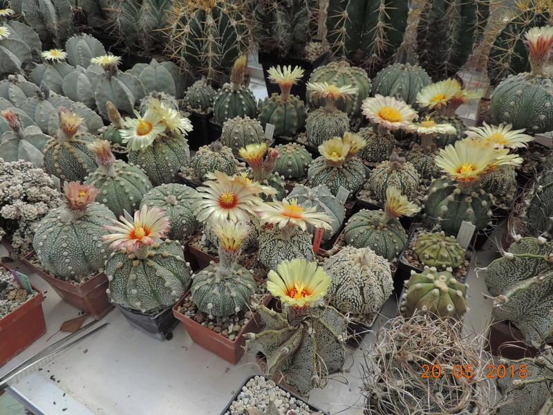 Cacti and Sukkulent in Köln, every day new flowers in the greenhouse Part 194 Bild2414