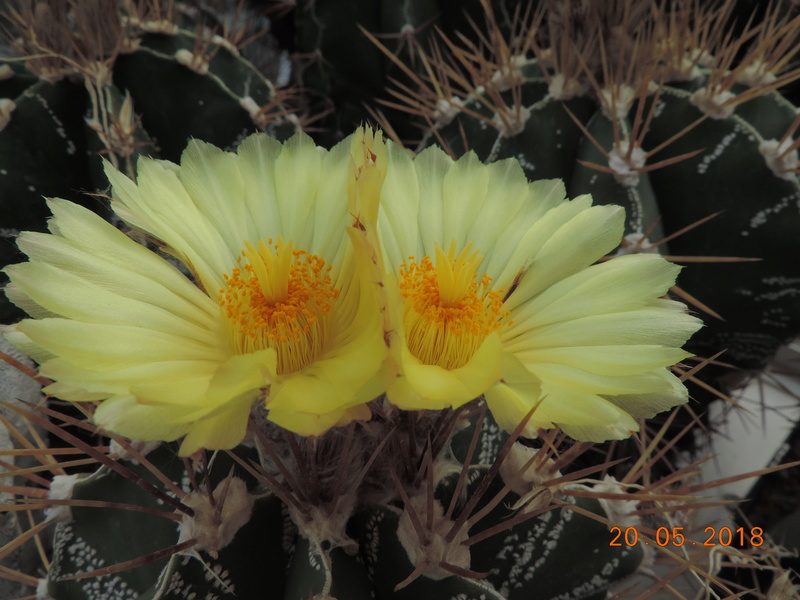 Cacti and Sukkulent in Köln, every day new flowers in the greenhouse Part 194 Bild2427