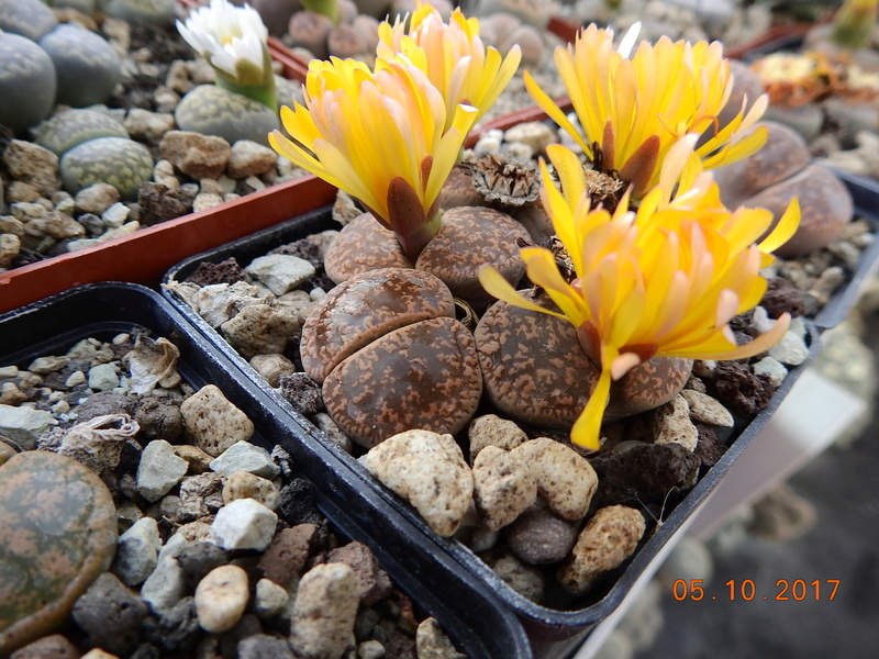 Cacti and Sukkulent in Köln, every day new flowers in the greenhouse Part 178 Bild_108