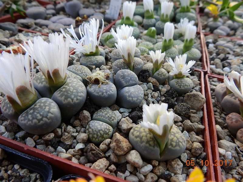 Cacti and Sukkulent in Köln, every day new flowers in the greenhouse Part 178 Bild_109