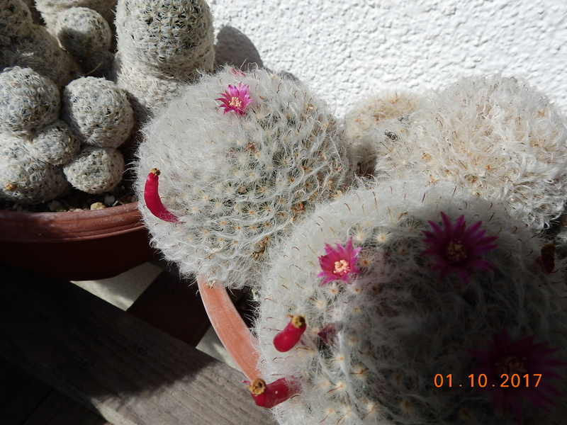 Cacti and Sukkulent in Köln, every day new flowers in the greenhouse Part 177 Bild_115