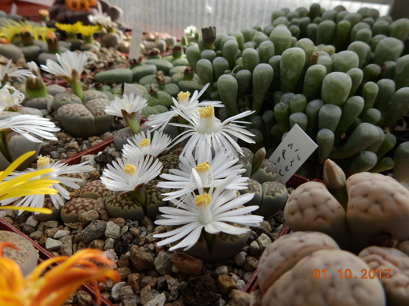 Cacti and Sukkulent in Köln, every day new flowers in the greenhouse Part 177 Bild_148