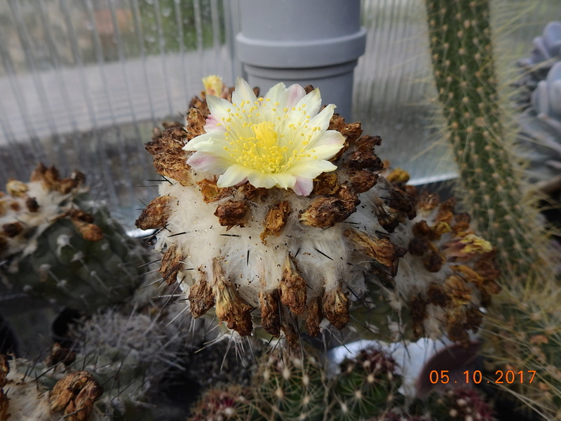 Cacti and Sukkulent in Köln, every day new flowers in the greenhouse Part 178 Bild_183