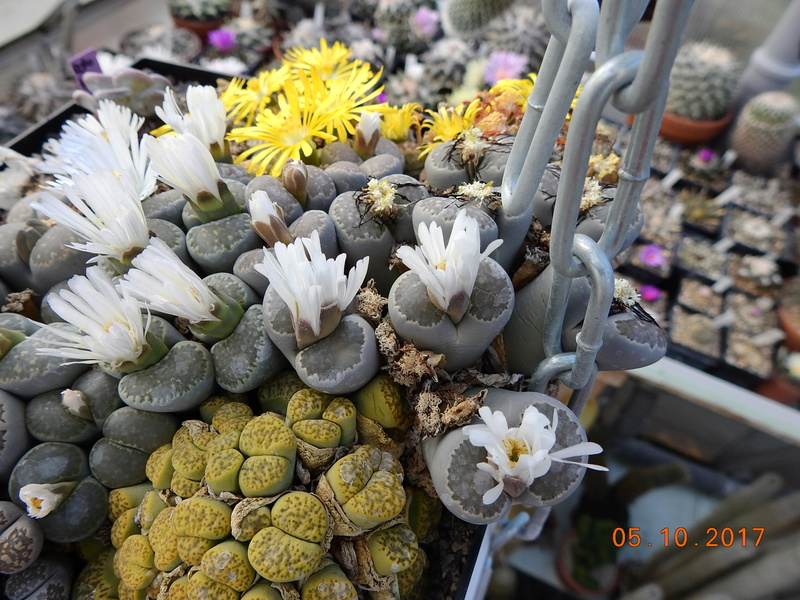 Cacti and Sukkulent in Köln, every day new flowers in the greenhouse Part 178 Bild_189