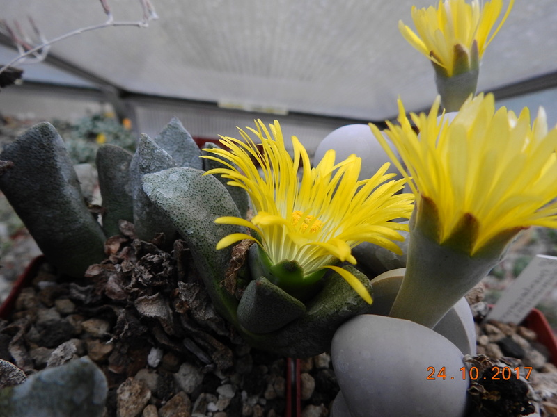 Cacti and Sukkulent in Köln, every day new flowers in the greenhouse Part 178 Bild_223