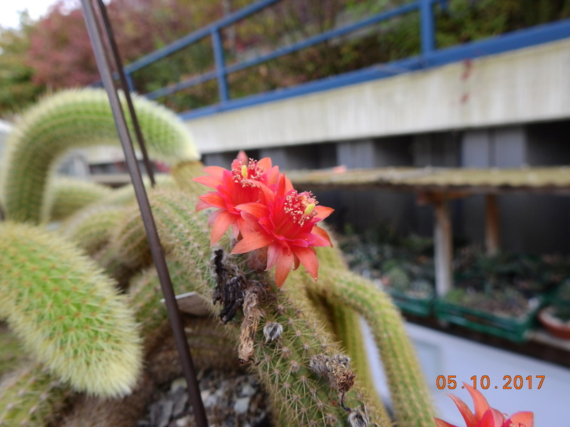 Cacti and Sukkulent in Köln, every day new flowers in the greenhouse Part 178 Bild_236