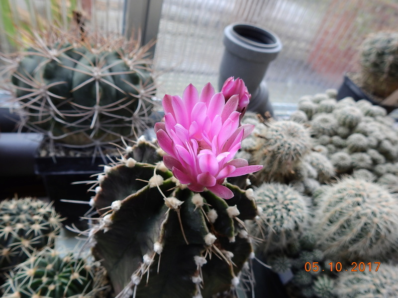 Cacti and Sukkulent in Köln, every day new flowers in the greenhouse Part 178 Bild_237