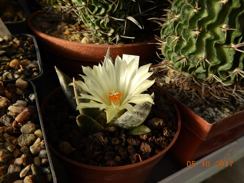 Cacti and Sukkulent in Köln, every day new flowers in the greenhouse Part 178 Bild_243