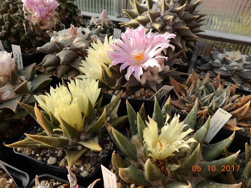 Cacti and Sukkulent in Köln, every day new flowers in the greenhouse Part 178 Bild_245