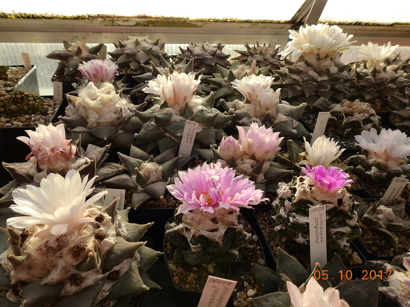 Cacti and Sukkulent in Köln, every day new flowers in the greenhouse Part 178 Bild_250