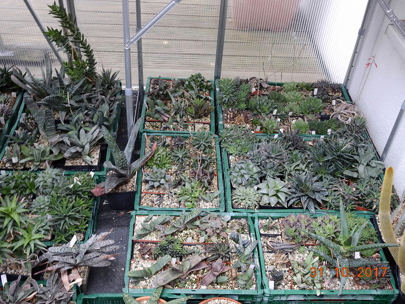 Cacti and Sukkulent in Köln, every day new flowers in the greenhouse Part 179 Bild_315