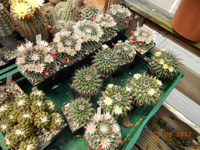 Cacti and Sukkulent in Köln, every day new flowers in the greenhouse Part 179 Bild_333