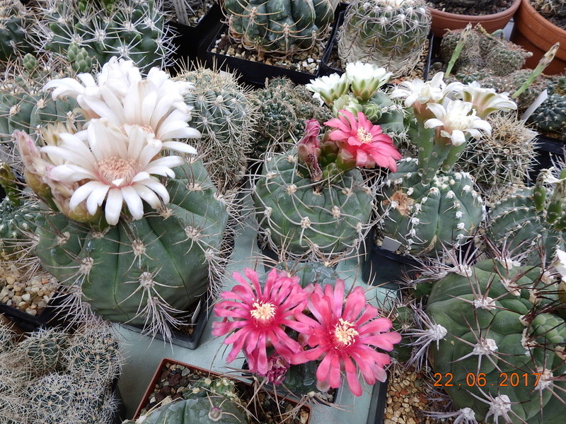 Cacti and Sukkulent in Köln, every day new flowers in the greenhouse Part 179 Bild_334