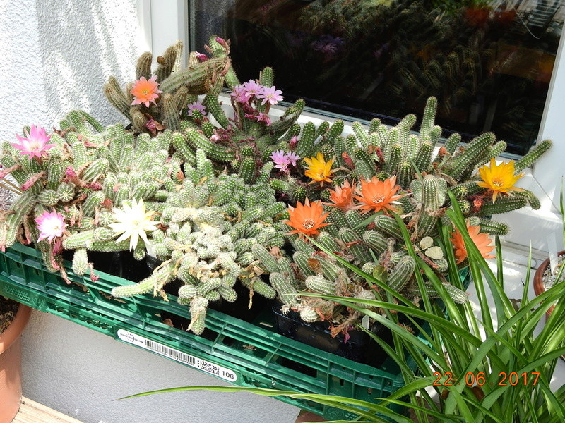 Cacti and Sukkulent in Köln, every day new flowers in the greenhouse Part 179 Bild_335