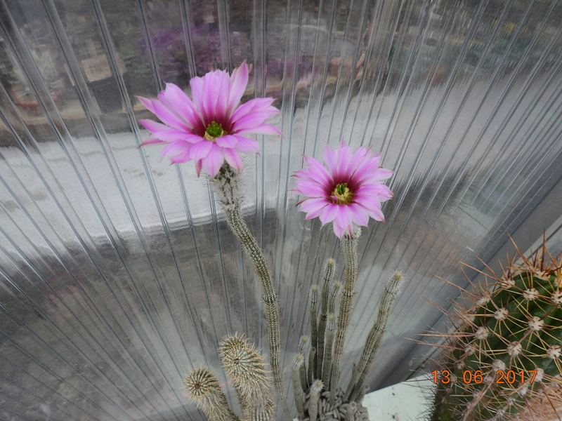 Cacti and Sukkulent in Köln, every day new flowers in the greenhouse Part 179 Bild_352