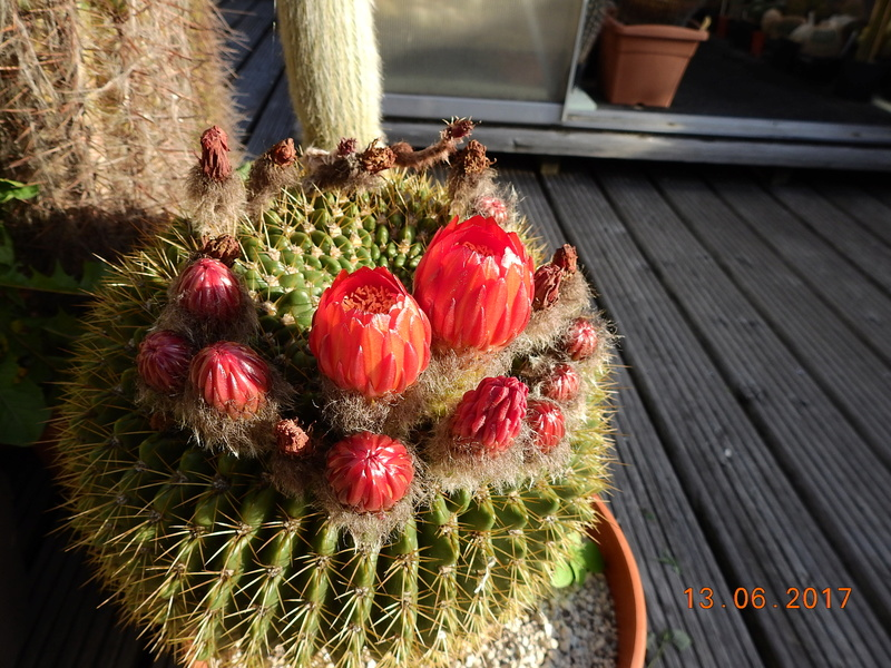 Cacti and Sukkulent in Köln, every day new flowers in the greenhouse Part 179 Bild_354