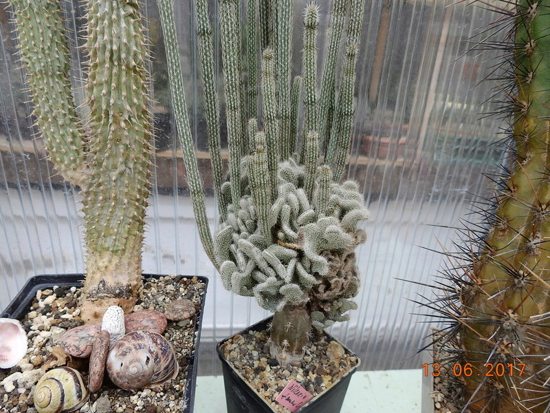 Cacti and Sukkulent in Köln, every day new flowers in the greenhouse Part 179 Bild_355