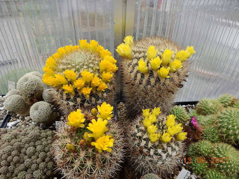 Cacti and Sukkulent in Köln, every day new flowers in the greenhouse Part 179 Bild_369