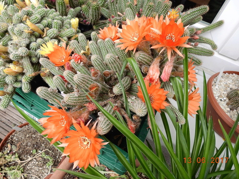 Cacti and Sukkulent in Köln, every day new flowers in the greenhouse Part 179 Bild_373