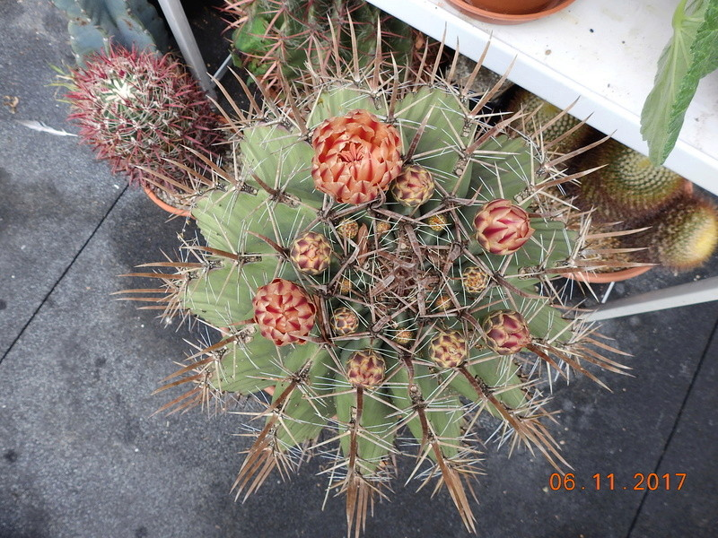 Cacti and Sukkulent in Köln, every day new flowers in the greenhouse Part 179 Bild_409