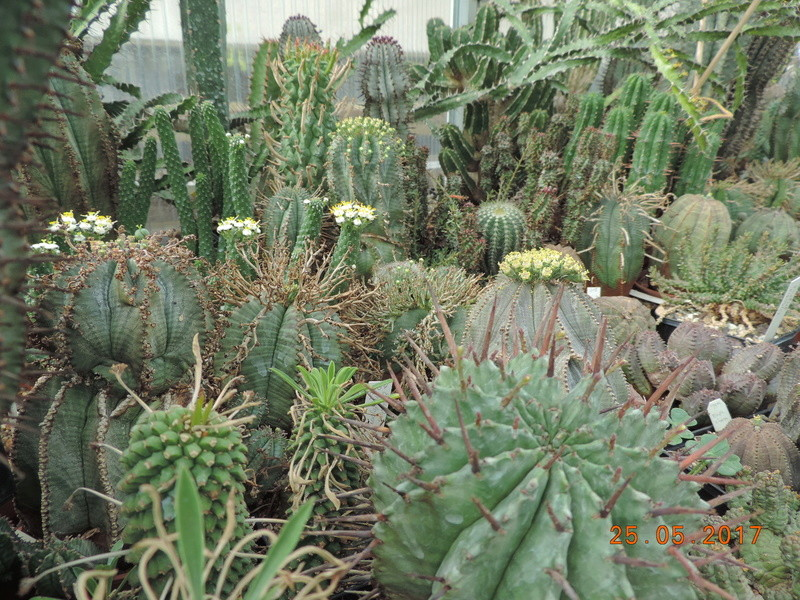 Cacti and Sukkulent in Köln, every day new flowers in the greenhouse Part 180 Bild_450