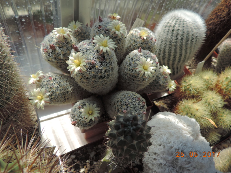 Cacti and Sukkulent in Köln, every day new flowers in the greenhouse Part 180 Bild_453