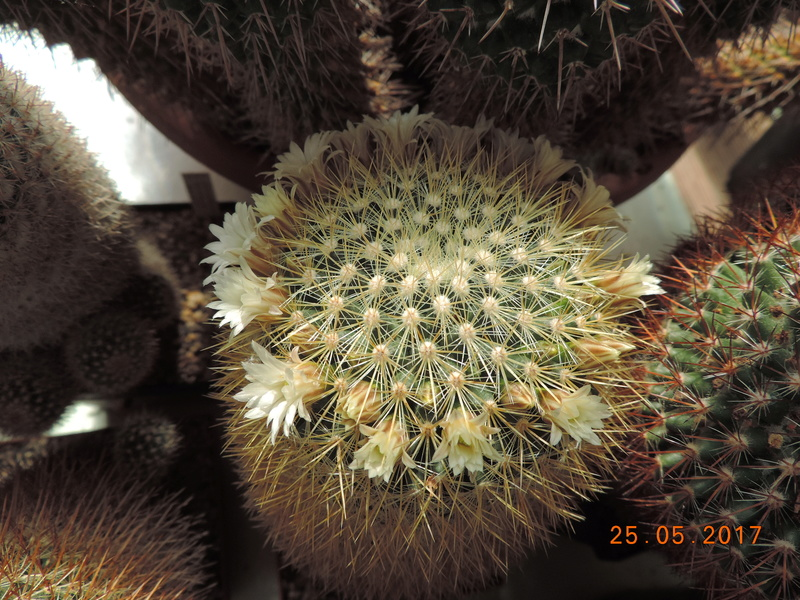 Cacti and Sukkulent in Köln, every day new flowers in the greenhouse Part 180 Bild_463
