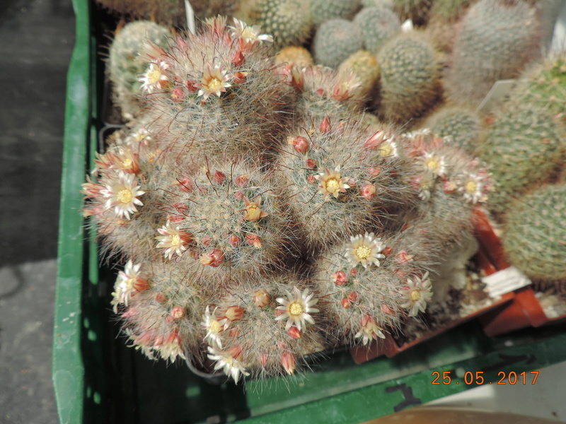 Cacti and Sukkulent in Köln, every day new flowers in the greenhouse Part 180 Bild_514