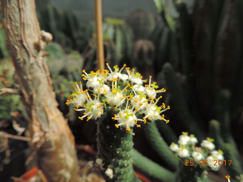 Cacti and Sukkulent in Köln, every day new flowers in the greenhouse Part 180 Bild_518