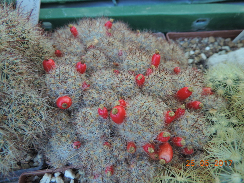Cacti and Sukkulent in Köln, every day new flowers in the greenhouse Part 180 Bild_547