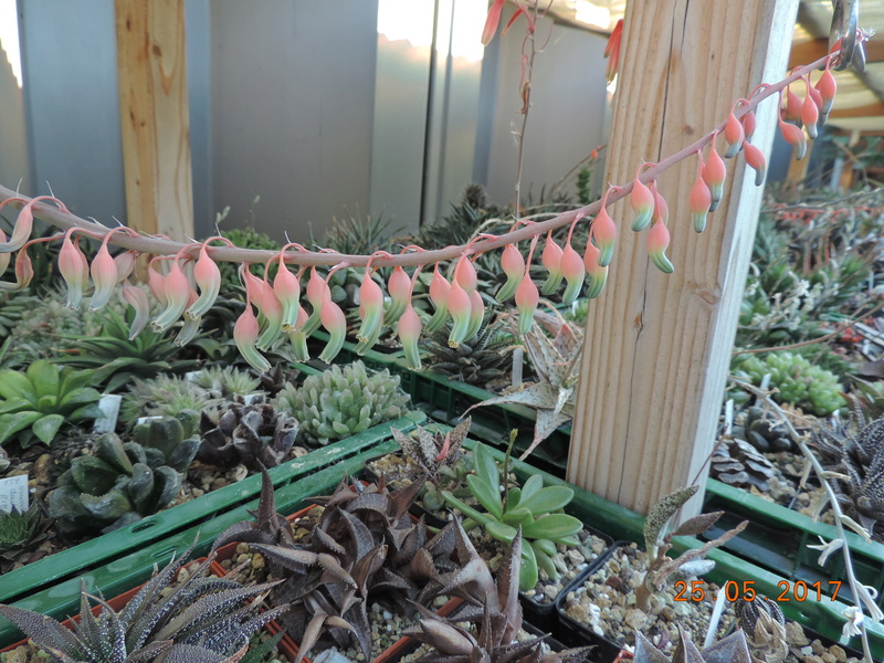 Cacti and Sukkulent in Köln, every day new flowers in the greenhouse Part 180 Bild_549