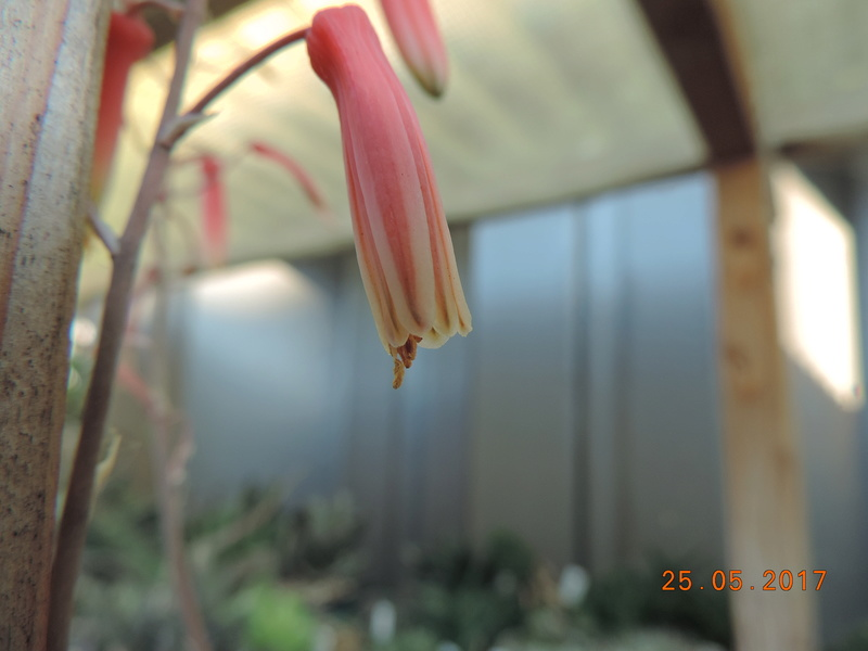 Cacti and Sukkulent in Köln, every day new flowers in the greenhouse Part 180 Bild_550