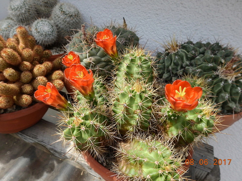Cacti and Sukkulent in Köln, every day new flowers in the greenhouse Part 180 Bild_565