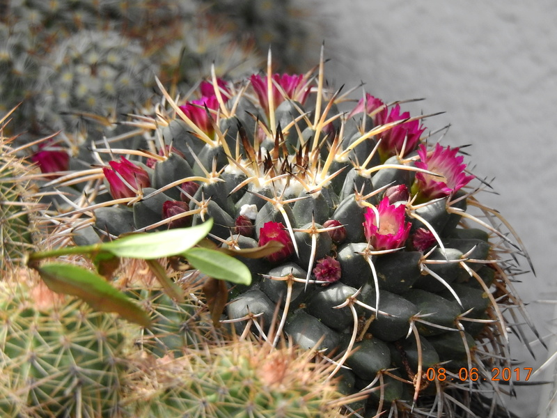 Cacti and Sukkulent in Köln, every day new flowers in the greenhouse Part 180 Bild_566