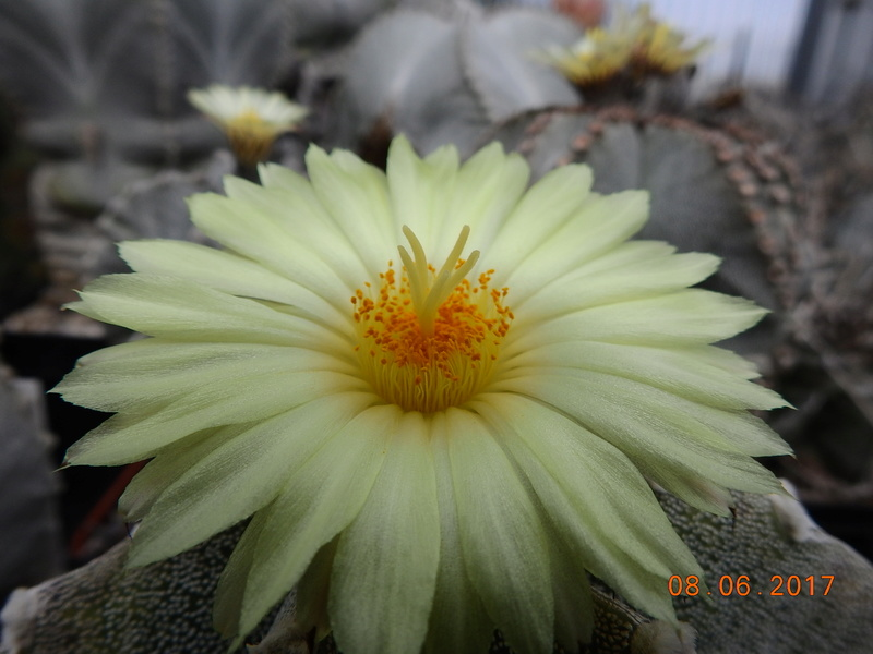 Cacti and Sukkulent in Köln, every day new flowers in the greenhouse Part 180 Bild_567