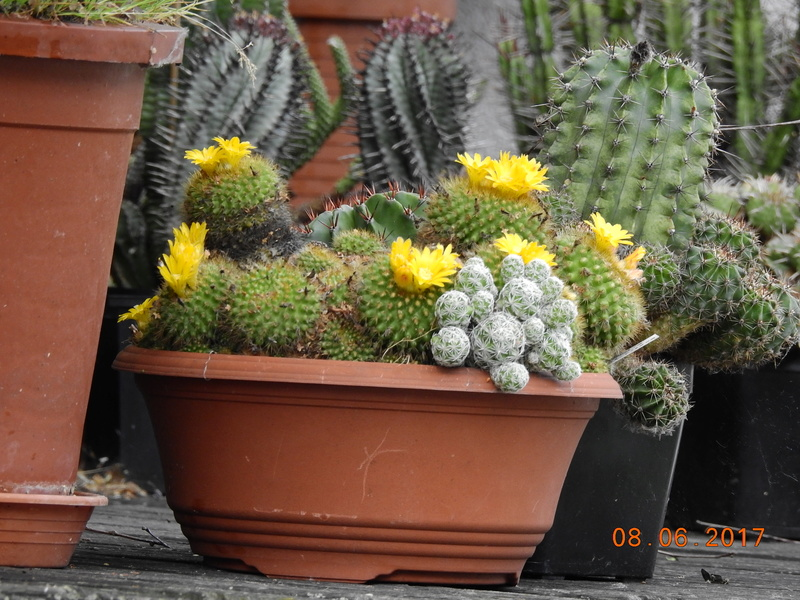 Cacti and Sukkulent in Köln, every day new flowers in the greenhouse Part 180 Bild_568
