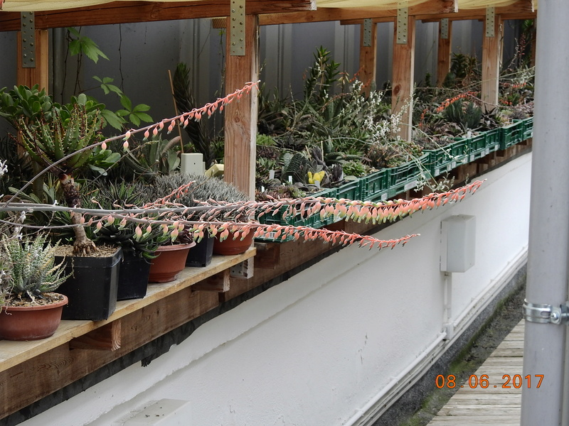 Cacti and Sukkulent in Köln, every day new flowers in the greenhouse Part 180 Bild_571