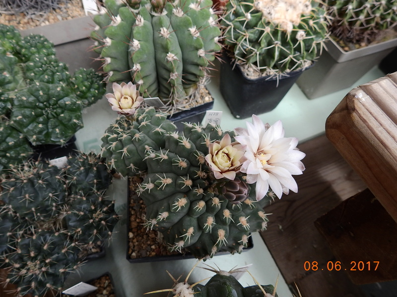 Cacti and Sukkulent in Köln, every day new flowers in the greenhouse Part 180 Bild_574