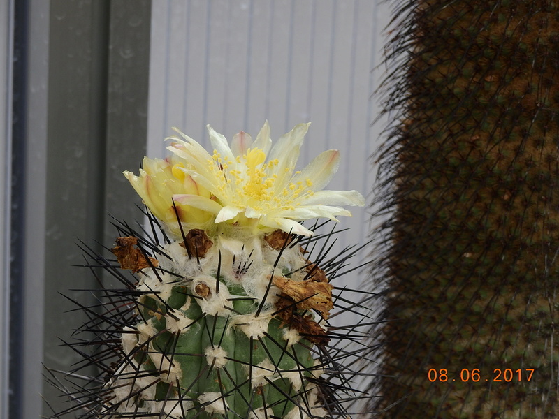Cacti and Sukkulent in Köln, every day new flowers in the greenhouse Part 180 Bild_589