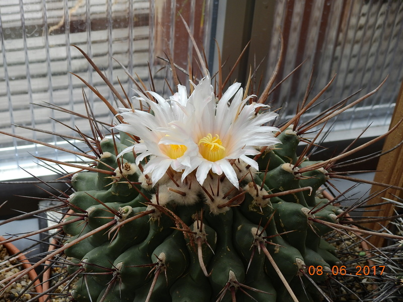 Cacti and Sukkulent in Köln, every day new flowers in the greenhouse Part 180 Bild_593