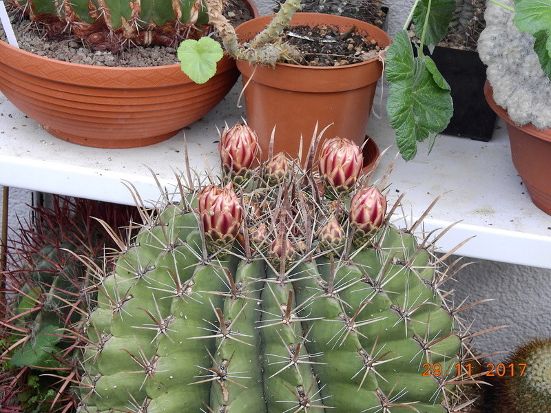 Cacti and Sukkulent in Köln, every day new flowers in the greenhouse Part 181 Bild_622