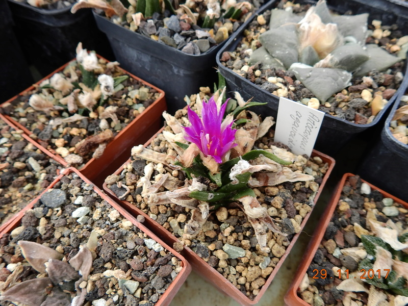 Cacti and Sukkulent in Köln, every day new flowers in the greenhouse Part 181 Bild_623