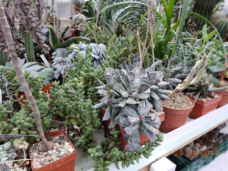 Cacti and Sukkulent in Köln, every day new flowers in the greenhouse Part 181 Bild_630