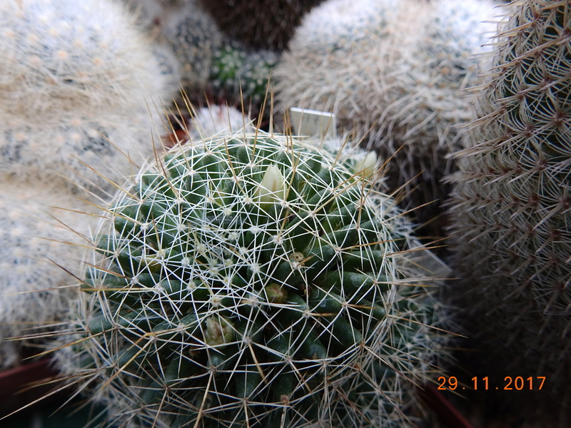 Cacti and Sukkulent in Köln, every day new flowers in the greenhouse Part 181 Bild_635