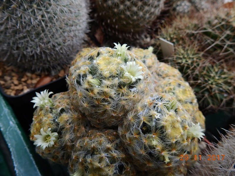 Cacti and Sukkulent in Köln, every day new flowers in the greenhouse Part 181 Bild_637
