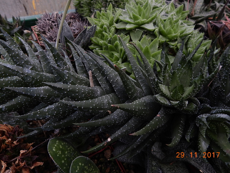 Cacti and Sukkulent in Köln, every day new flowers in the greenhouse Part 181 Bild_646