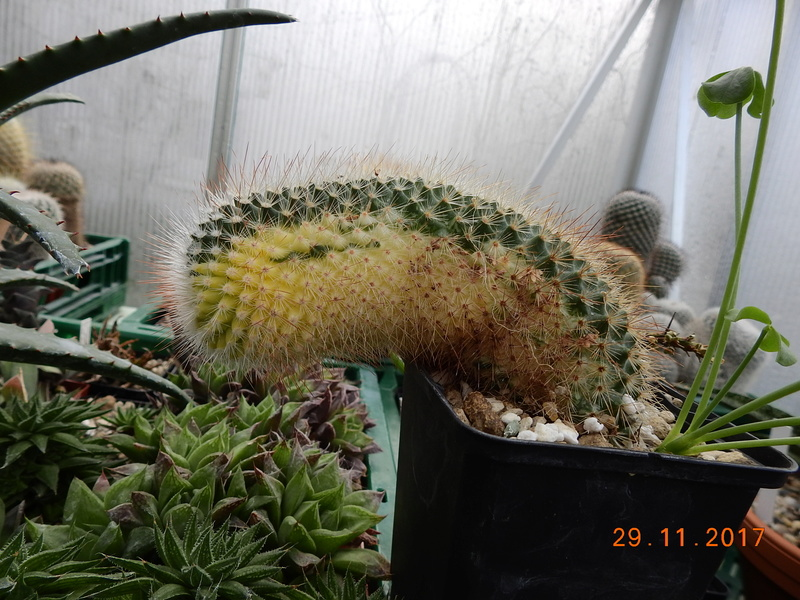 Cacti and Sukkulent in Köln, every day new flowers in the greenhouse Part 181 Bild_647